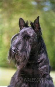 portrait scottish terrier