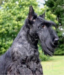 Coupe du Scottish Terrier