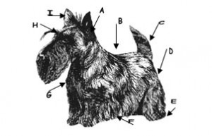 toilettage Scottish Terrier