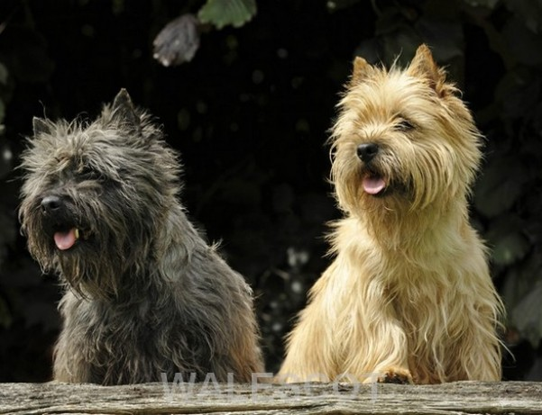 http://terrier-ecossais.fr/WordPress3/wp-content/uploads/2014/08/cairn-terrier1.jpg