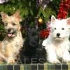http://www.terrier-ecossais.fr/wp-content/uploads/2016/03/3chiots.jpg