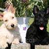 http://www.terrier-ecossais.fr/wp-content/uploads/2016/03/Chiots-scot.jpg