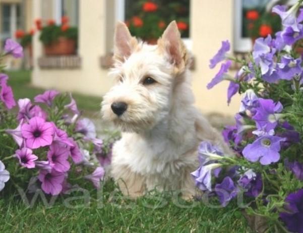 http://www.terrier-ecossais.fr/wp-content/uploads/2018/02/bbvermeil1.jpg