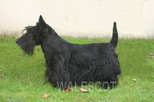 DUKE Scottish Terrier noir