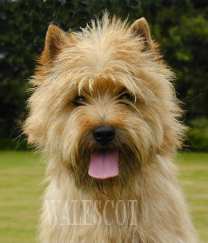 coupe cairn terrier