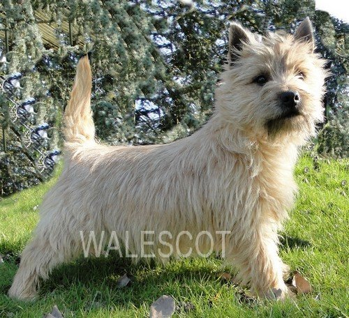 Coupe cairn terrier blanc