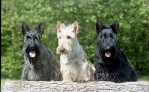 Trio Scottish Terrier