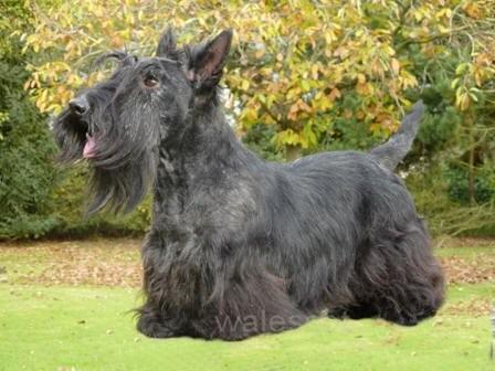 Scottish Terrier noir