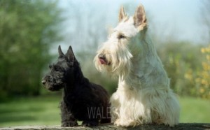 Scottish terrier blanc et noir