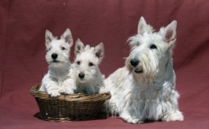 chiots scottish terrier