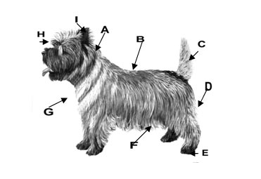toilettage cairn terrier