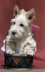 Les Chiots Scottish terriers