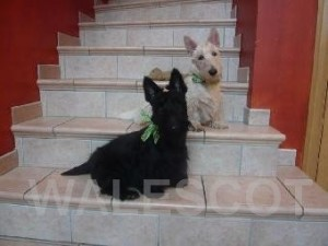 Les Scottish Terriers de nos clients